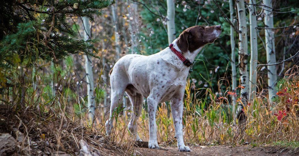 malattie cane da caccia